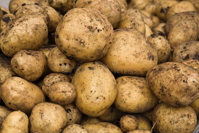 Batatas escavadas frescas imagens de stock