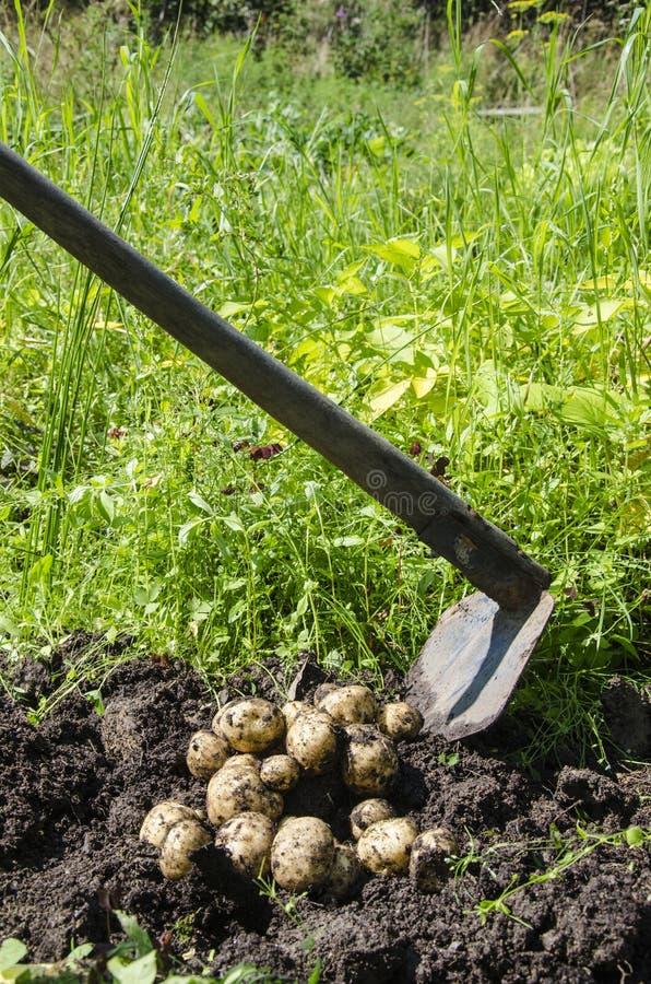 Batatas escavadas recentemente acima do solo fotos de stock