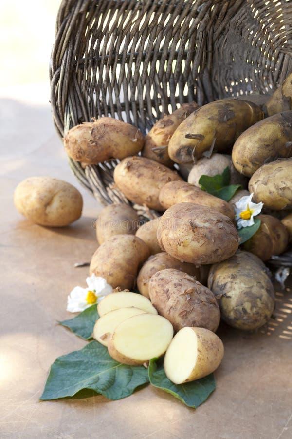 Batatas recentemente colhidas imagens de stock