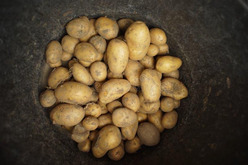 Batatas recentemente colhidas em uma cubeta imagens de stock
