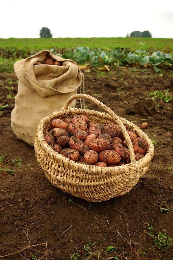 Batatas recentemente escavadas em um saco da cesta e de serapilheira imagens de stock