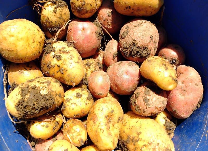 Batatas vermelhas e amarelas frescas imagens de stock