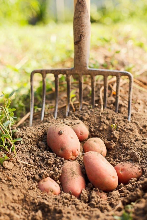 Batatas vermelhas e forquilha de escavação fotos de stock