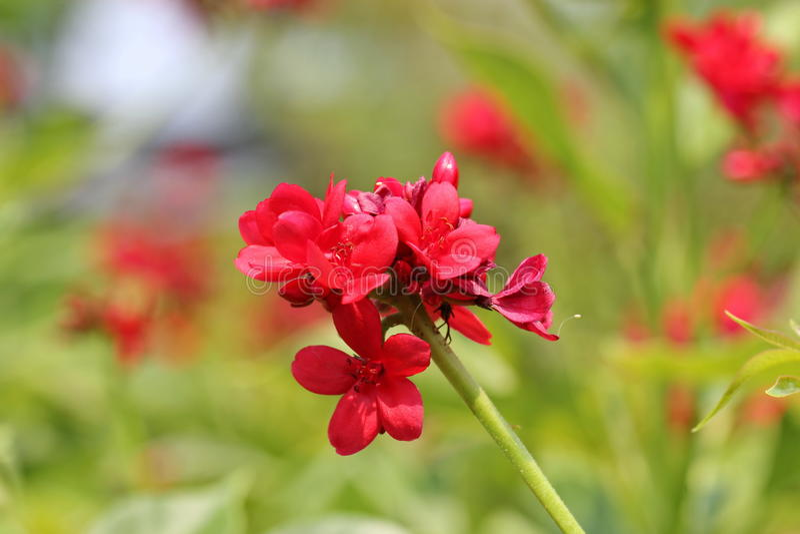 Batavia blommar arkivbilder