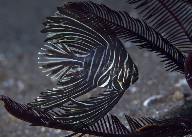 Batavia SpadefishPlatax batavianus som inramas av crinoids arkivfoto