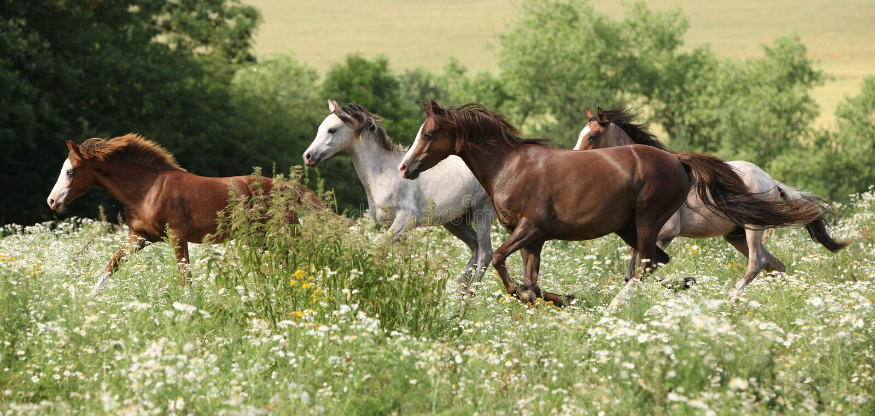 Batch of horses running in flowered scene stock photography