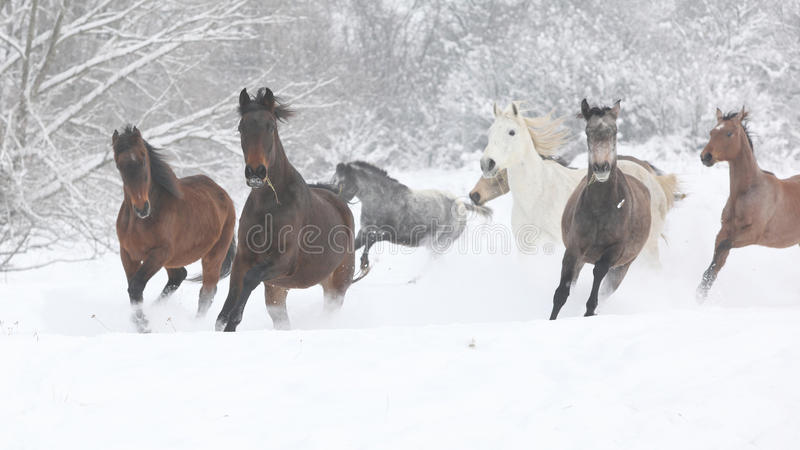 Batch of horses running in winter royalty free stock image