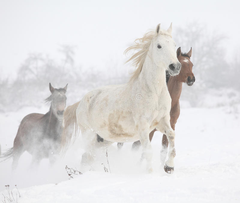 Batch of horses running in winter royalty free stock photos