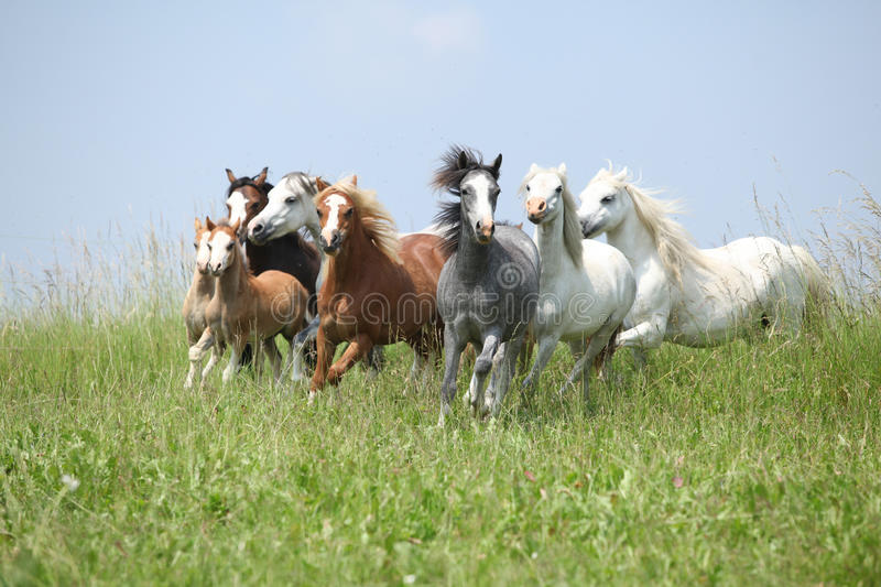 Batch of welsh ponnies running together on pasturage. Batch of nice welsh ponnies running together on green pasturage stock photos