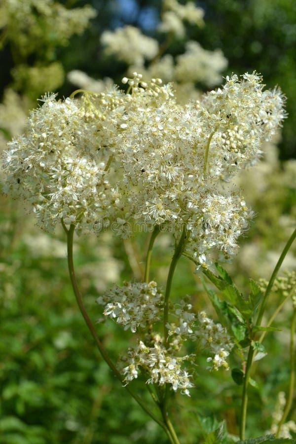 Batedor de ovos branco dos wildflowers em um fundo da grama verde fotos de stock royalty free