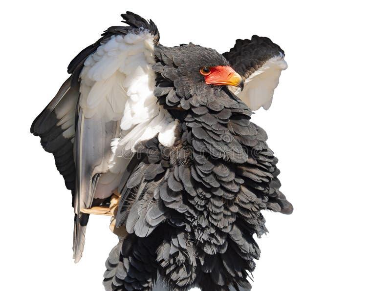 Bateleur老鹰喘气它的胸口 免版税图库摄影