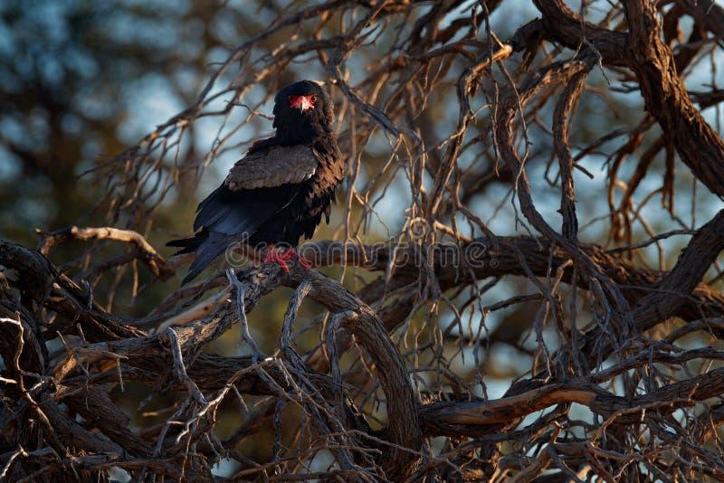 Bateleur老鹰,Terathopius ecaudatus,棕色和黑鸷在自然栖所,坐分支,Kgalagadi, 免版税图库摄影