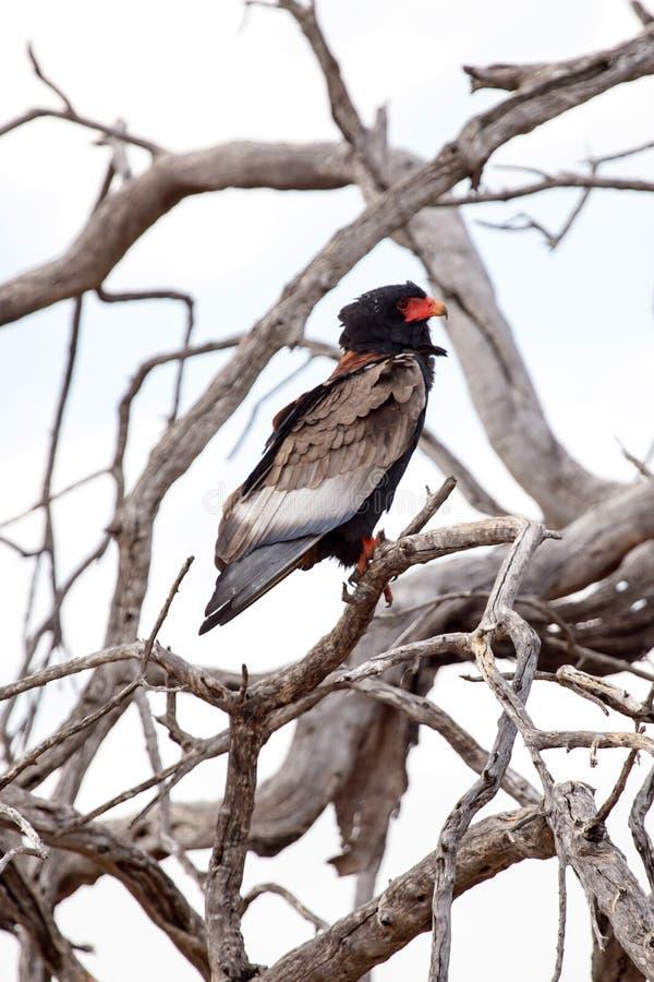 Bateleur老鹰- Okavango三角洲- Moremi N P 免版税库存图片