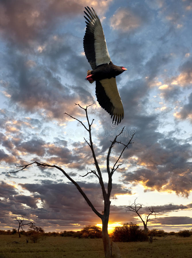 Bateleur老鹰- Savuti -博茨瓦纳 免版税库存照片