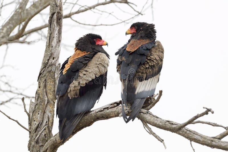 Bateleur老鹰Terathopius ecaudatus对 库存照片