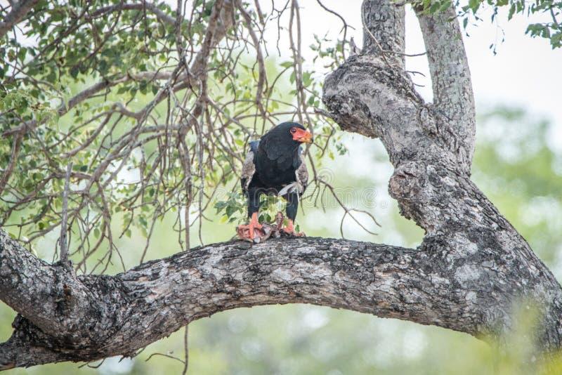 Bateleur che mangia in un albero fotografie stock libere da diritti