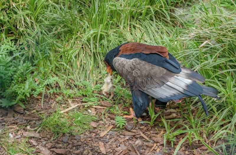 Bateleur Eagle eats chicken royalty free stock photos