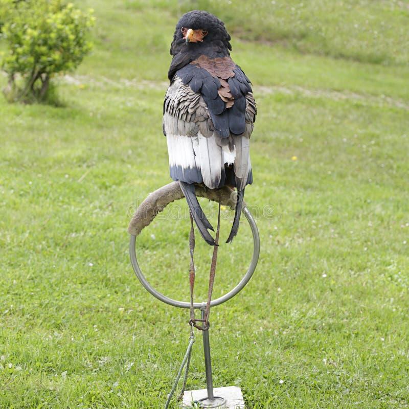 Bateleur Eagle et x28 ; ecaudatus& x29 de terathopius ; photos libres de droits