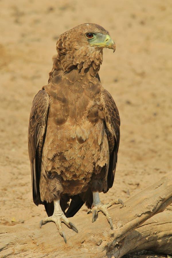 Bateleur Eagle - fondo salvaje del pájaro de África - actitud del registro del reino animal fotos de archivo