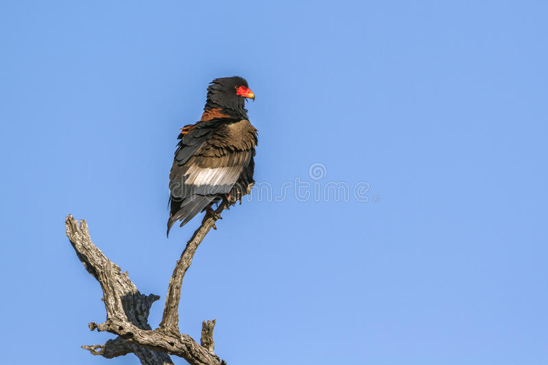 Bateleur Eagle in Kruger National park, South Africa royalty free stock photography