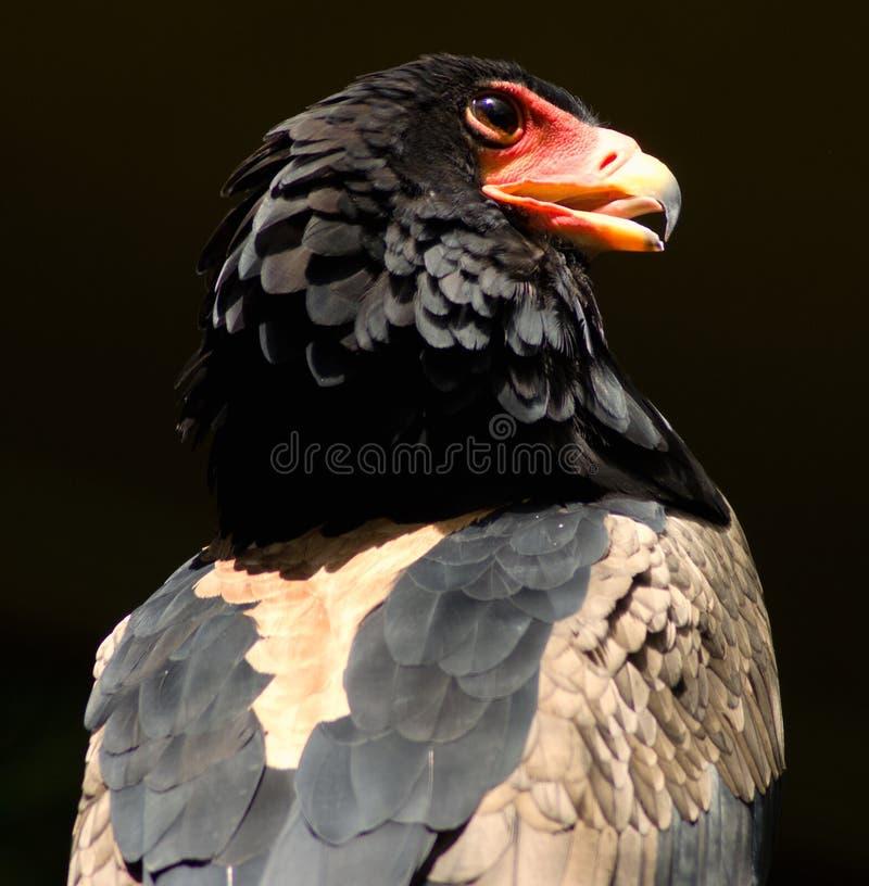 Bateleur Eagle. A perched Bateleur Eagle admires his surroundings royalty free stock photo