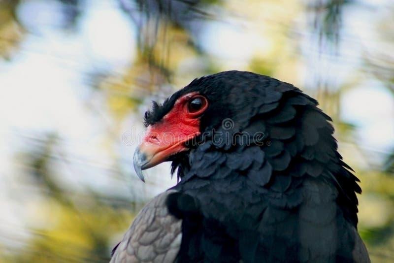 Bateleur Eagle, Pijnboom Eagle, Terathopius-ecaudatus