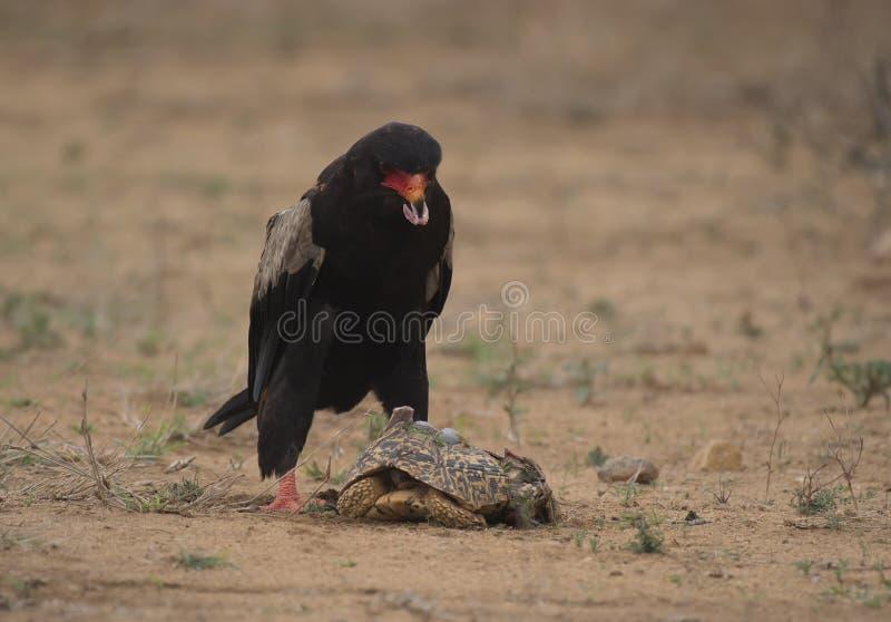 Bateleur Eagle, Terathopius ecaudatus stock photography