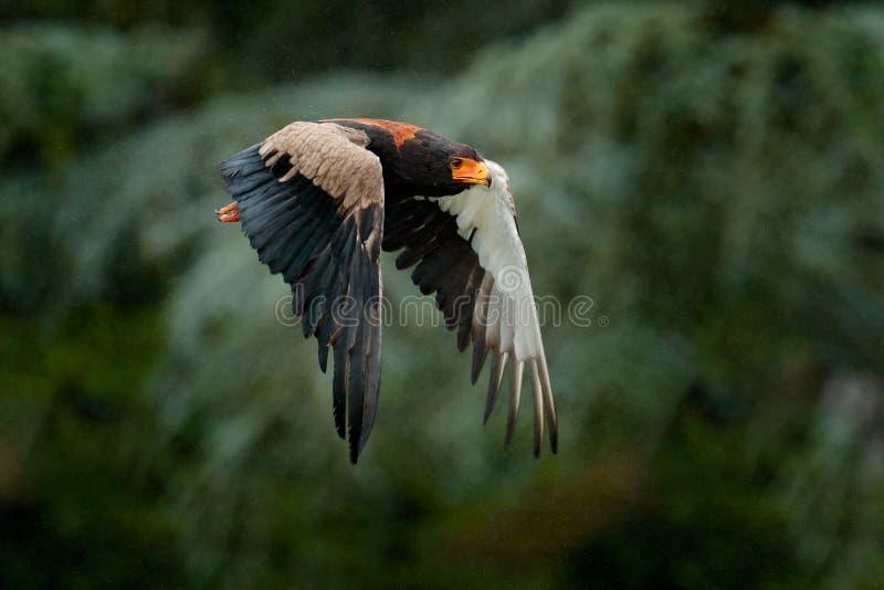 Bateleur Eagle, Terathopius ecaudatus, brown and black bird of prey fly in the nature habitat, Kenya, Africa. Wildlife scene form stock photos