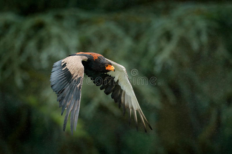 Bateleur Eagle, Terathopius ecaudatus, brown and black bird of prey fly in the nature habitat, Kenya, Africa. Wildlife scene form stock photo