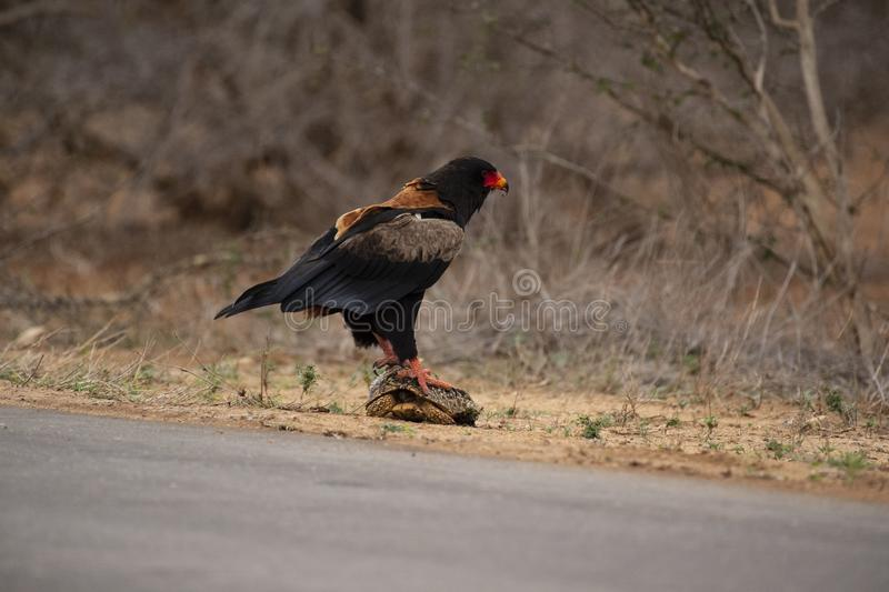 Bateleur Eagle, Terathopius ecaudatus, standing on tortoise with back to camera stock image