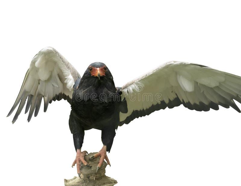 Bateleur Eagle van Afrika Kleurrijke specie met zeer korte staart Ecaudatus van Terathopius De gelukkige jonge zakken van de meis royalty-vrije stock fotografie