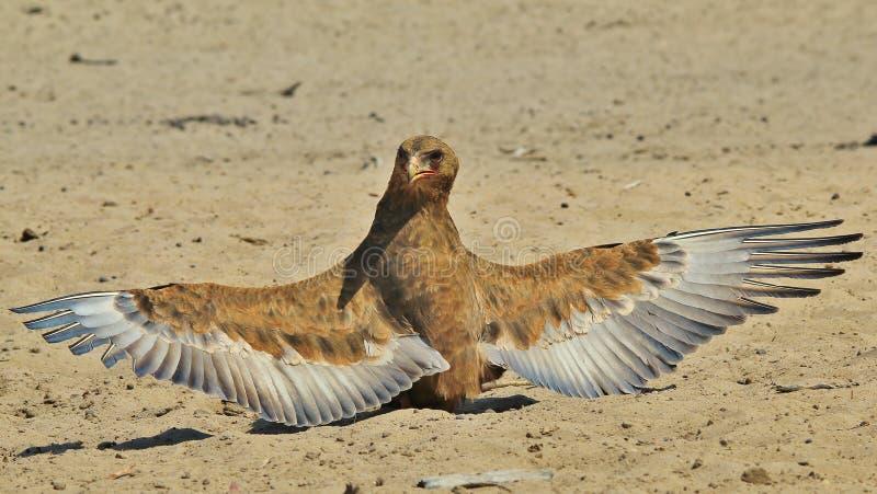 Bateleur Eagle Zwierzęcego królestwa aniołowie i ich skrzydła - Dziki Ptasi tło od Afryka - zdjęcia stock