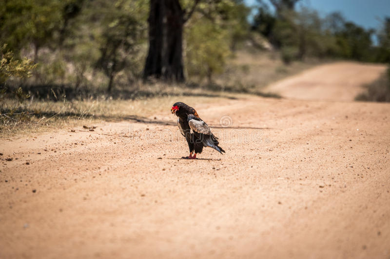 Bateleur eating in the Kruger National Park, South Africa. royalty free stock image