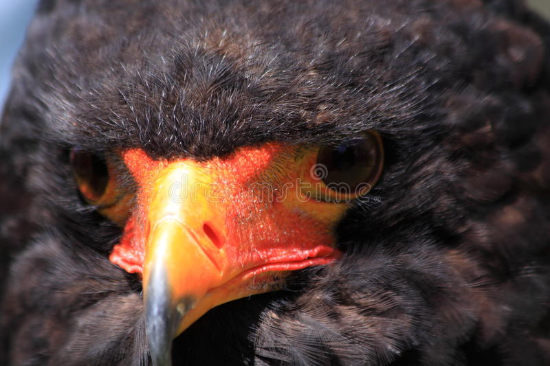 Bateleur head close up stock images