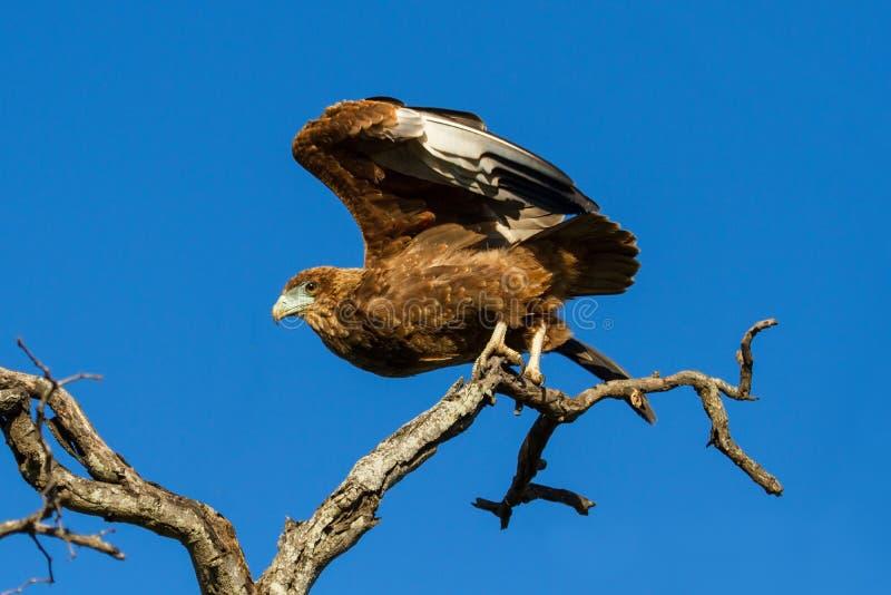 Bateleur juvénile Eagle décollent des branches avec le ciel bleu photos stock