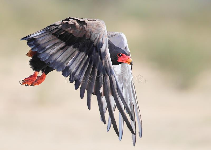 Bateleur taking off in the Kalahari royalty free stock photos