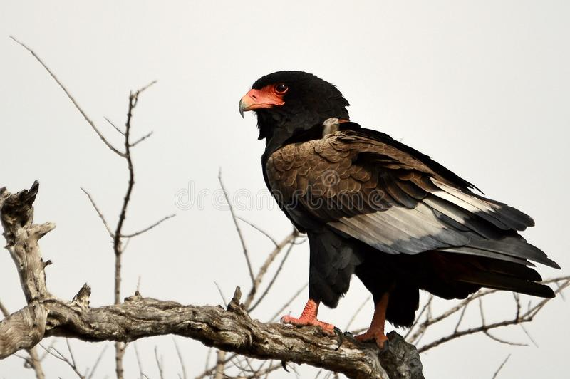 Bateleur (Terathopius ecaudatus) royalty free stock photos