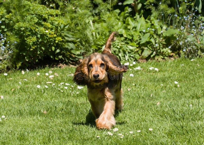 Bater das orelhas do cachorrinho de cocker spaniel do inglês imagens de stock