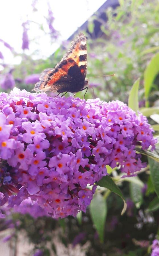 Baterfly sur la fleur de branche sur le davidii de buddleia généralement le buisson de papillon photos stock