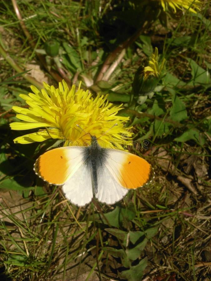 Baterfly sur les fleurs photographie stock