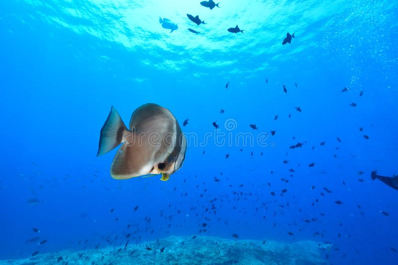 batfish σκοτεινός στοκ φωτογραφίες