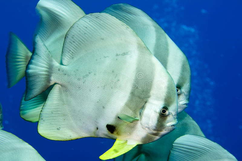 batfish стоковое фото