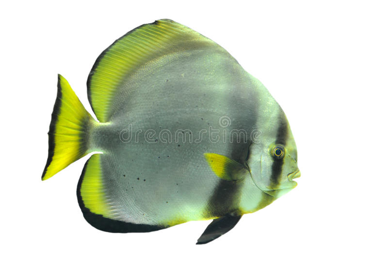 Batfish foto de stock