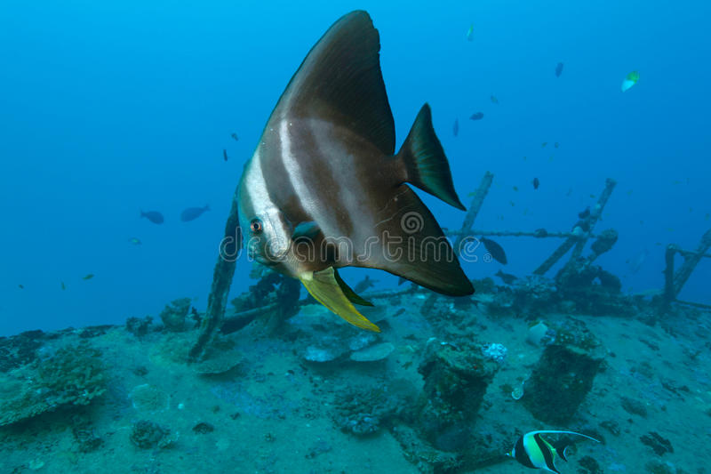 Batfish stock images