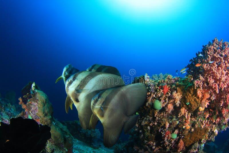 Batfish fotografia stock libera da diritti