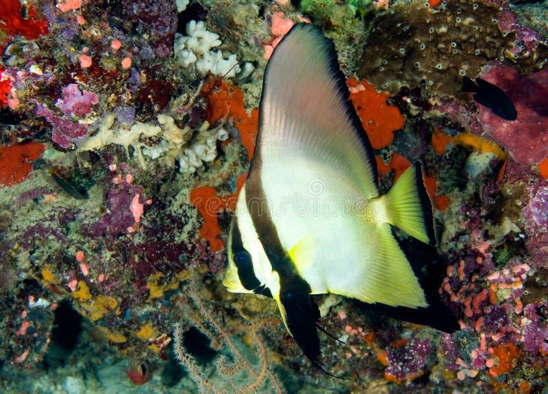 Batfish royalty-vrije stock foto