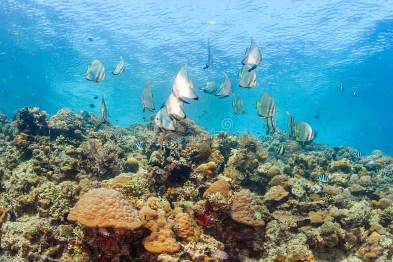 Batfish en tropische vissen op een ondiepe ertsader stock afbeeldingen