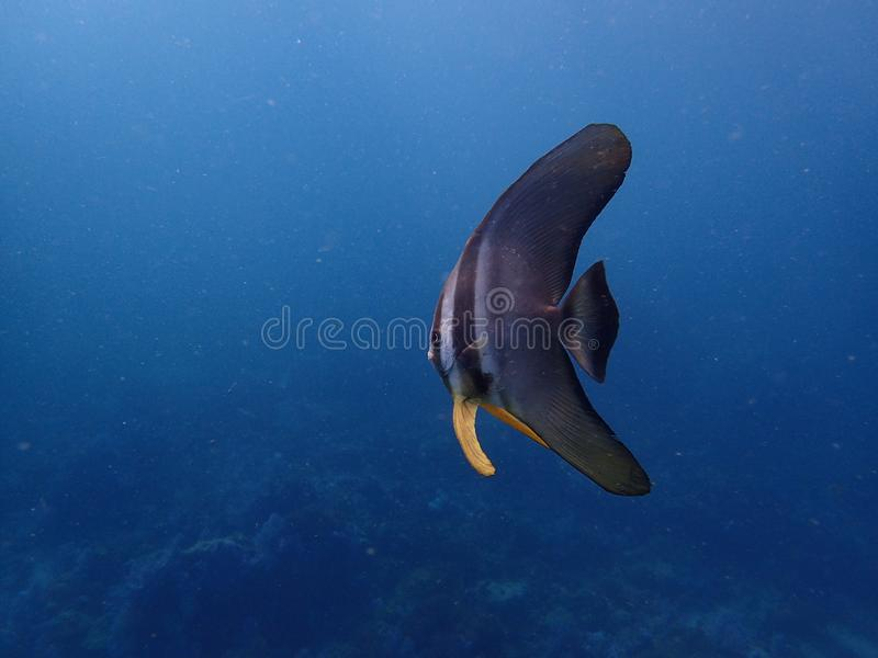 Batfish stock image