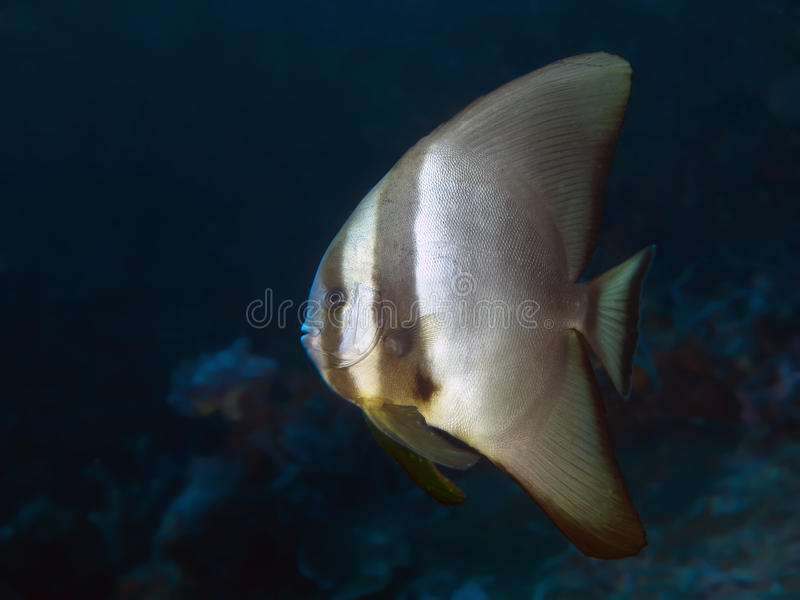 Batfish obscuro imagens de stock