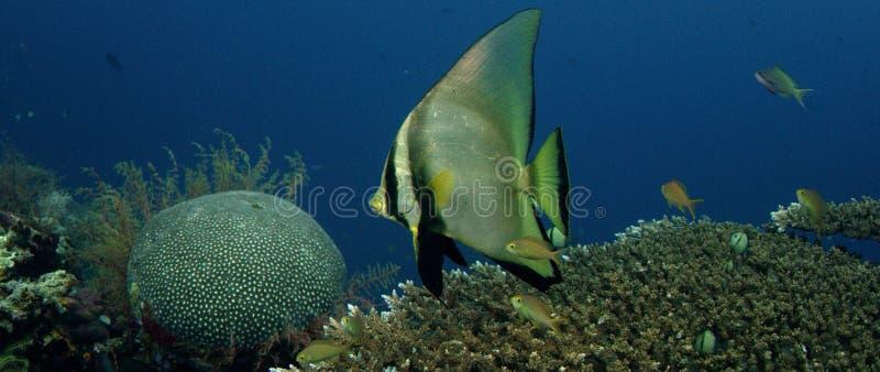 Batfish ombragé image libre de droits